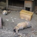 Bild: Ein Blick in den Kaninschenstall mit 2 Kaninchen