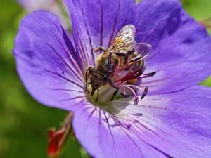 Bild Biene sucht Nektar auf einer lila Blüte