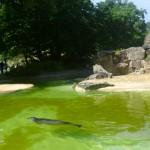 Bild: Robbe im Wasser