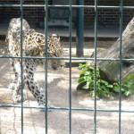 Bild: Leopard im Gehege