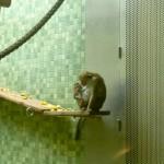 Bild: Affenmutter mit Affenjungem im Affenhaus