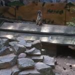 Bild: Ein Erdmännchen stehend auf Brettern, im Hintegrund gemalte Landschaft, im Vordergrund Granitsteine.