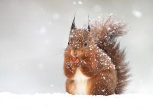 Bild: Eichhörnchen knabbert an einer roten Frucht, halbaufrecht stehend mit Blick zum Betrachter