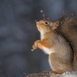 Bild: Eichhörnchen aufrecht stehend mit Blick nach oben - Ansicht seitlich