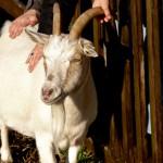 Bild: Ziege steht vor einem Zaun und wird von Kinderhänden durch den Zaun gestreichelt