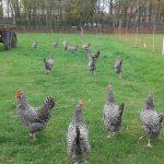 Bild: 16 schwarz-weiße Zwerghühner picken auch nach dem Regen auf einer umzäunten Wiese.