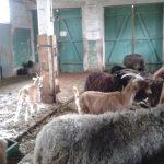 Bild: junge Frau füttert Ziegen im Stall