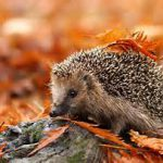 Foto: Igel auf roten Herbstlaub